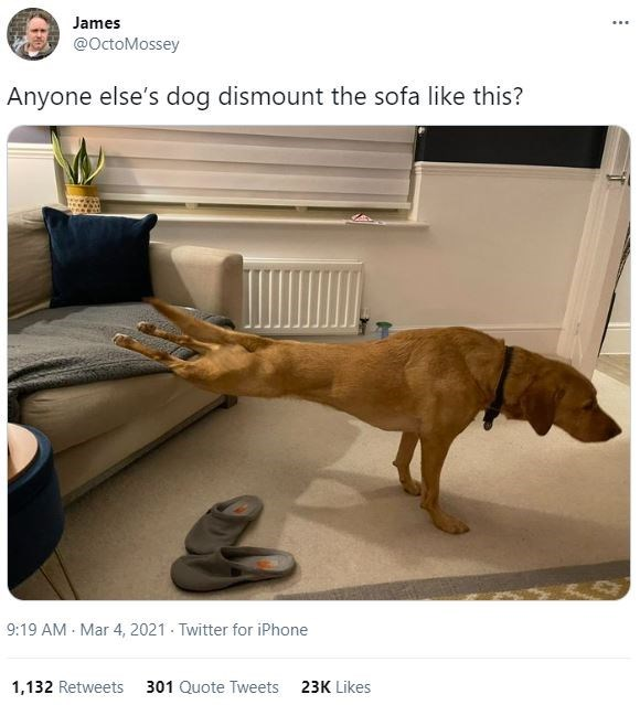 Brown - James ... @OctoMossey Anyone else's dog dismount the sofa like this? 9:19 AM - Mar 4, 2021 - Twitter for iPhone 1,132 Retweets 301 Quote Tweets 23K Likes