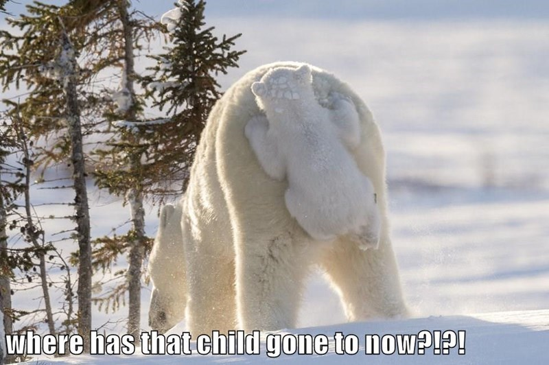 where has that child gone to now?   funny pic of a polar bear cub hanging from its mama's tail backside