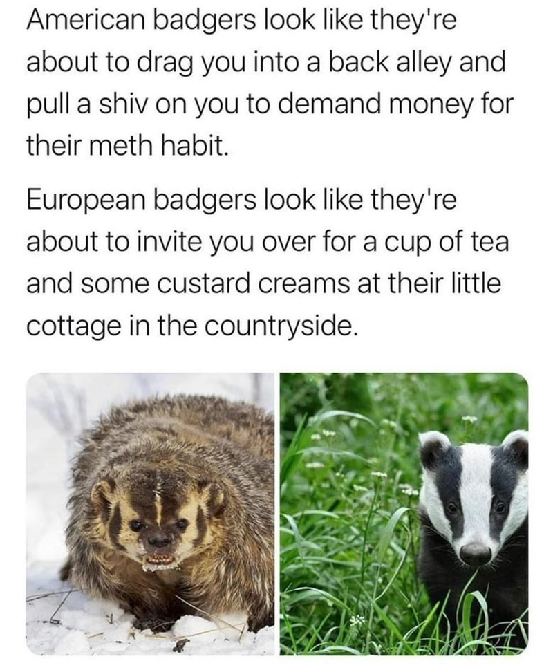 Organism - American badgers look like they're about to drag you into a back alley and pull a shiv on you to demand money for their meth habit. European badgers look like they're about to invite you over for a cup of tea and some custard creams at their little cottage in the countryside.