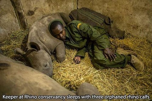 Keeper at Rhino conservancy sleeps with three orphaned rhino calfs | pic of a man in uniform sleeping with baby rhinos