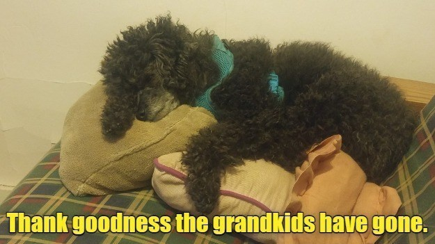 Thank goodness the grandkids have gone. | poodle sleeping in a dog bed