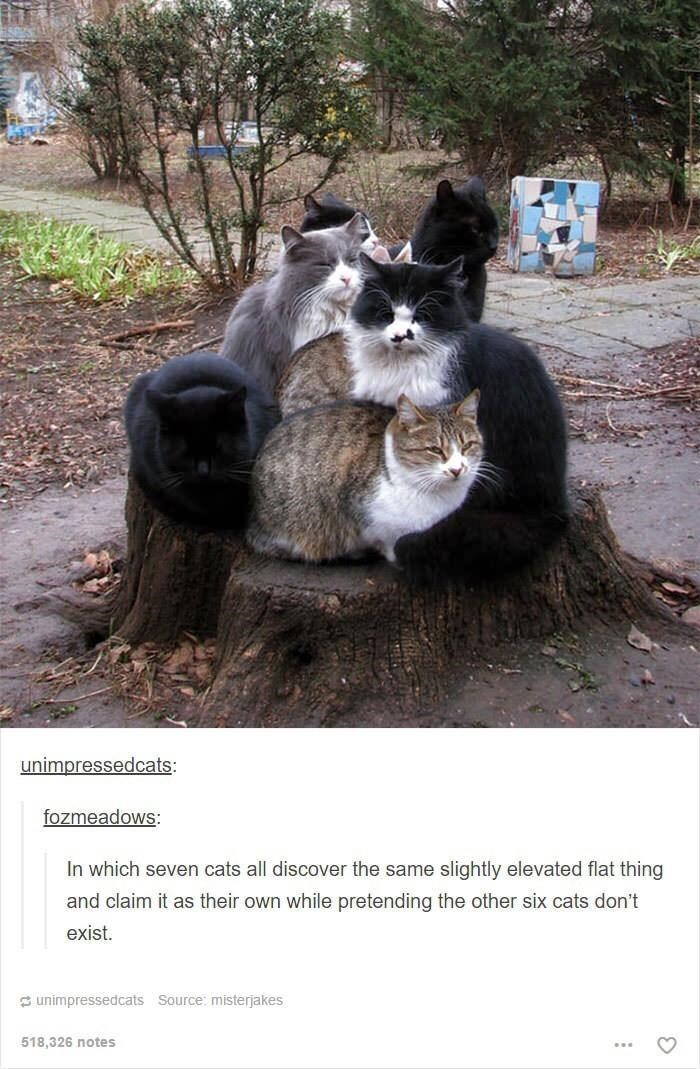 Vertebrate - unimpressedcats: fozmeadows: In which seven cats all discover the same slightly elevated flat thing and claim it as their own while pretending the other six cats don't exist. S unimpressedcats Source: misterjakes 518,326 notes