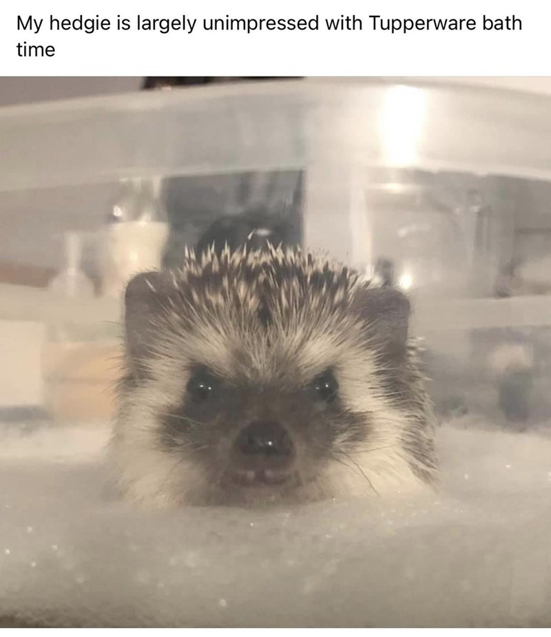 Organism - My hedgie is largely unimpressed with Tupperware bath time