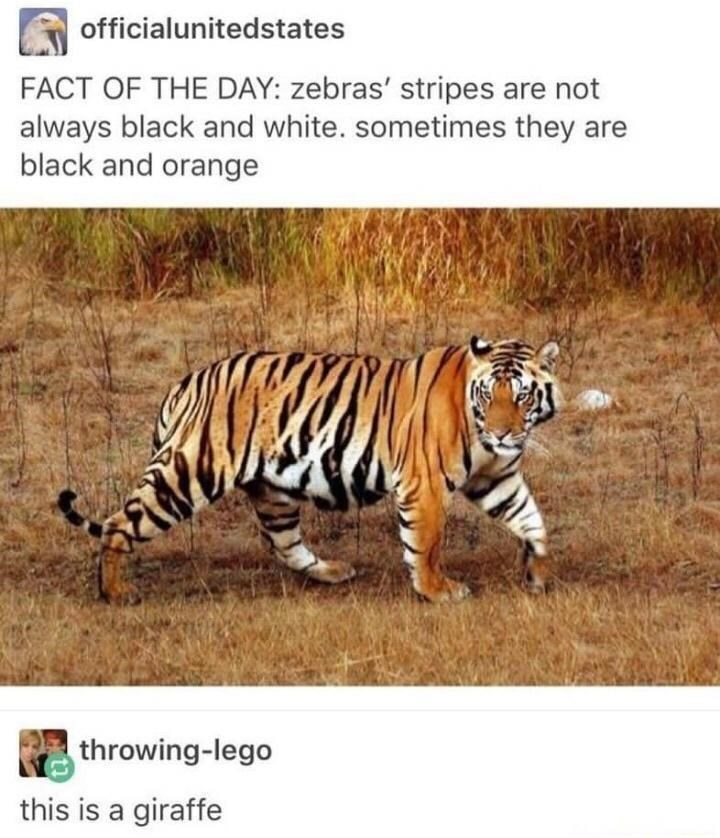 Siberian tiger - officialunitedstates FACT OF THE DAY: zebras' stripes are not always black and white. sometimes they are black and orange throwing-lego this is a giraffe