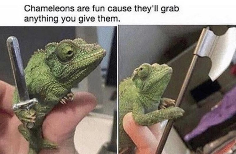 Photograph - Chameleons are fun cause they'll grab anything you give them.