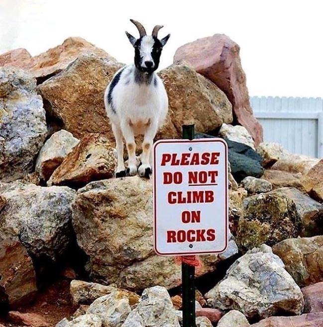 Goat - PLEASE DO NOT CLIMB ON ROCKS