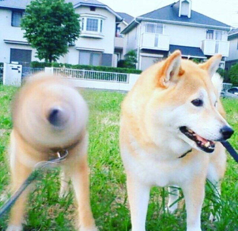 funny pic of two shiba inu dogs where one is shaking its head right as the picture is taken and looking like a blurry void