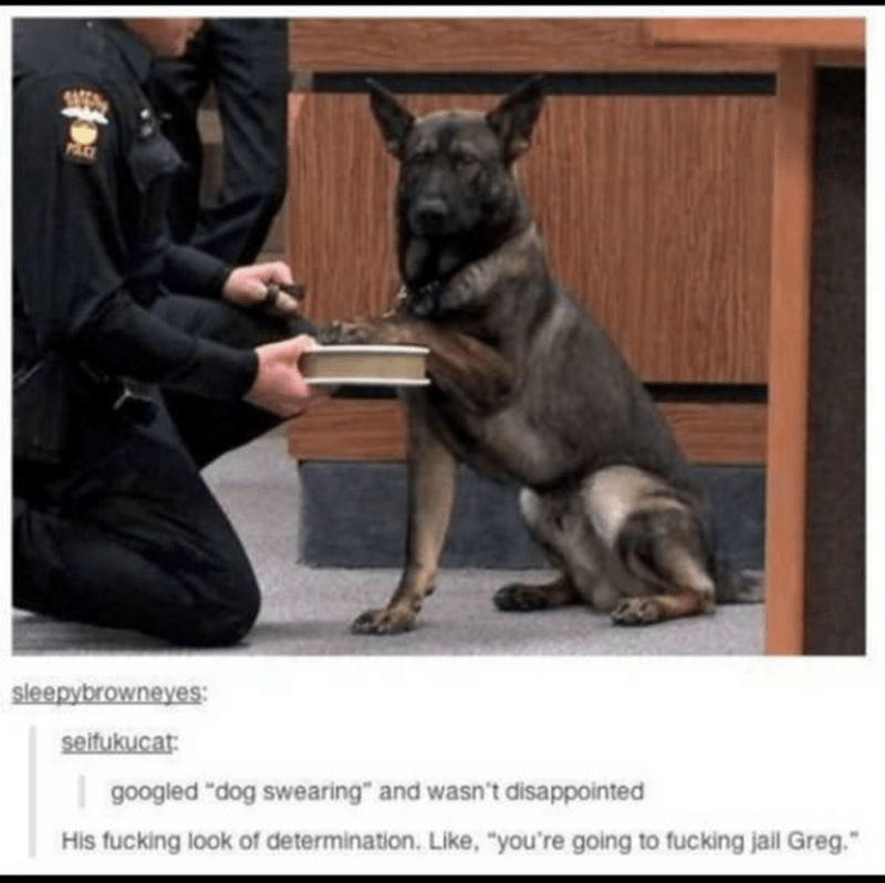 "Dog - sleepybrowneyes: seitukucat: | googled ""dog swearing"" and wasn't disappointed His fucking look of determination. Like, ""you're going to fucking jall Greg."""