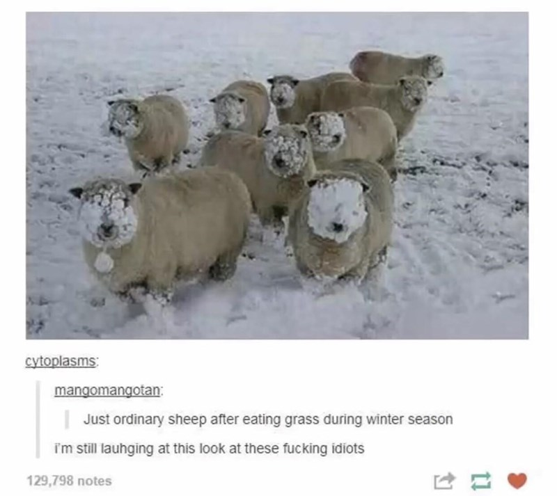Organism - cytoplasms: mangomangotan: Just ordinary sheep after eating grass during winter season im still lauhging at this look at these fucking idiots 129,798 notes