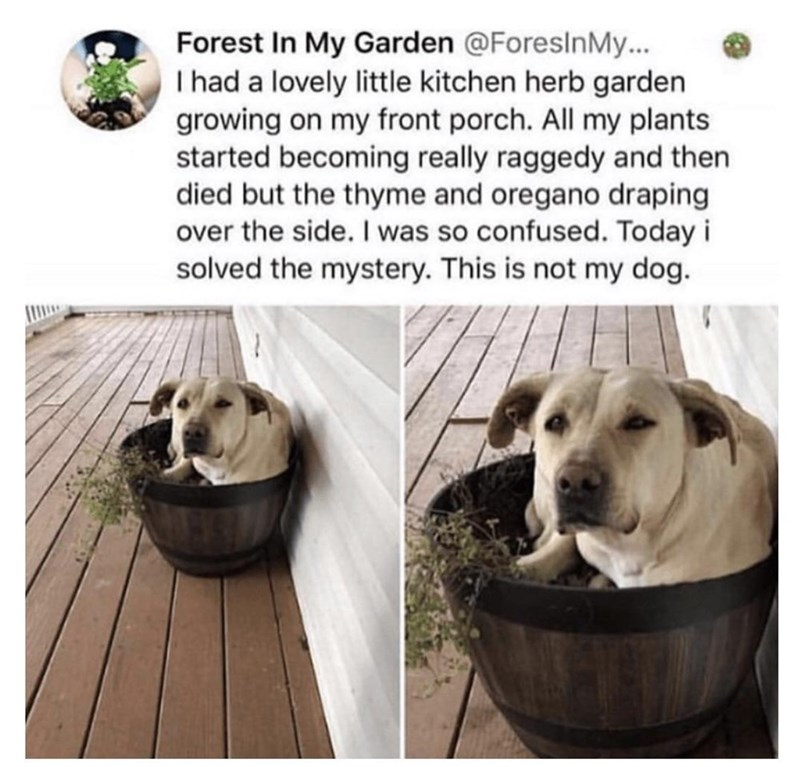 Dog - Forest In My Garden @ForeslnMy... I had a lovely little kitchen herb garden growing on my front porch. All my plants started becoming really raggedy and then died but the thyme and oregano draping over the side. I was so confused. Today i solved the mystery. This is not my dog.
