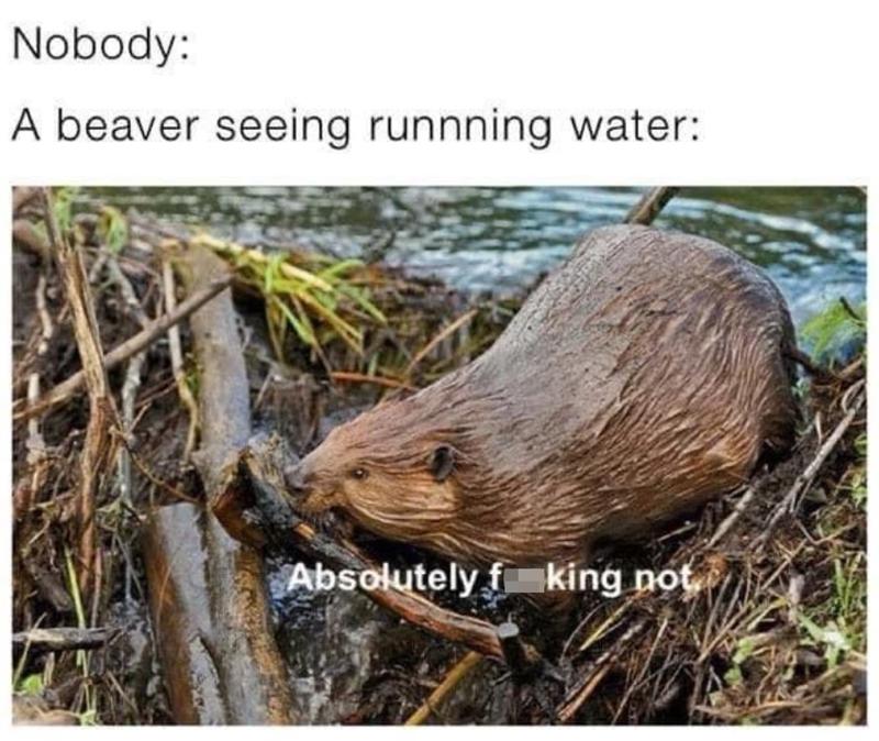 funny memes, memes, beavers, animal memes | Nobody: A beaver seeing running water: absolutely fucking not