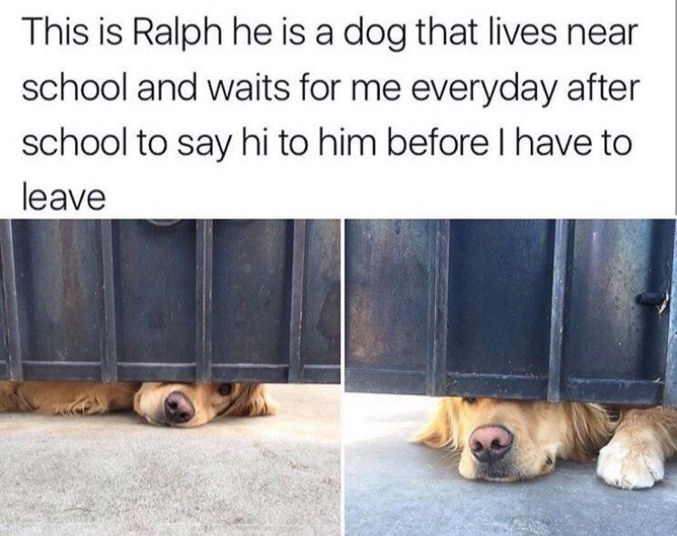 Felidae - This is Ralph he is a dog that lives near school and waits for me everyday after school to say hi to him before l have to leave