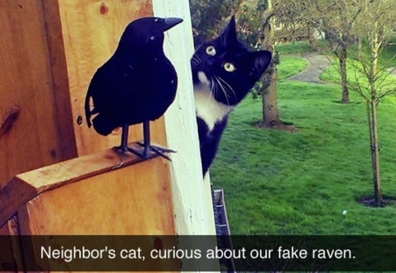 Cat - Neighbor's cat, curious about our fake raven.