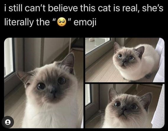 "Cat - i sill can't believe this cat is real, she's literally the ""O"" emoji"
