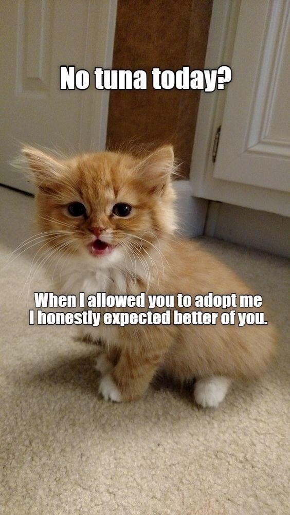 Cat - No tuna today? When I allowed you to adopt me I honestly expected better of you.
