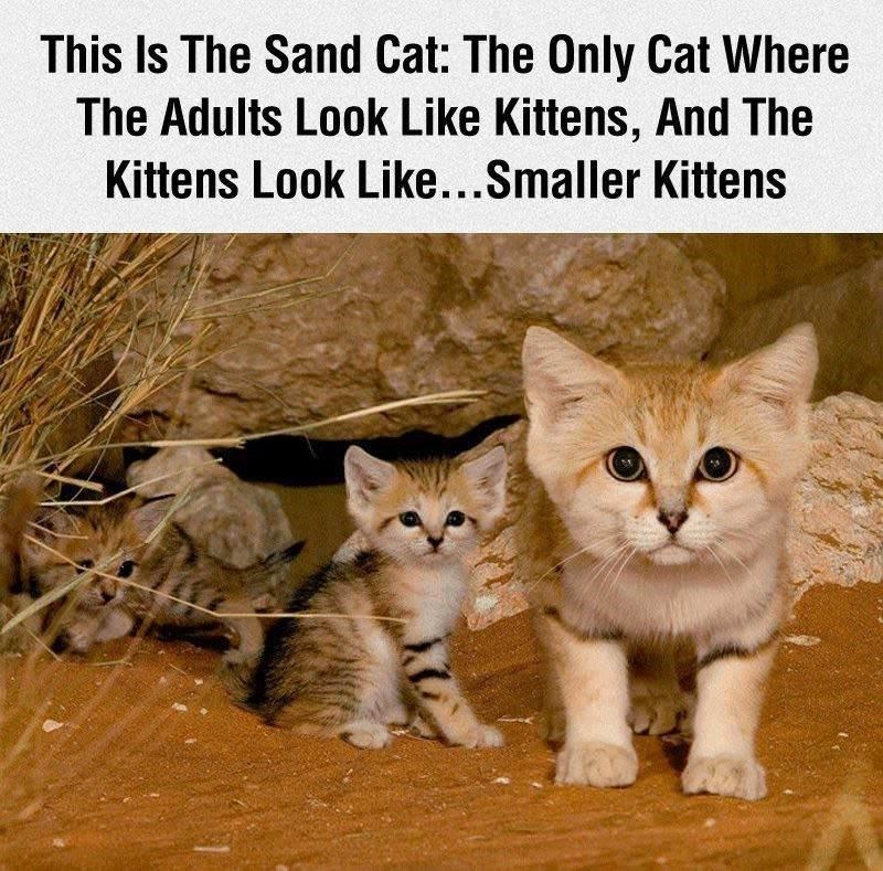 Cat - This Is The Sand Cat: The Only Cat Where The Adults Look Like Kittens, And The Kittens Look Like...Smaller Kittens