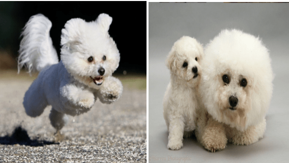 cute dogs animal photos dog photos cute animals awww bichon frise - 9603333
