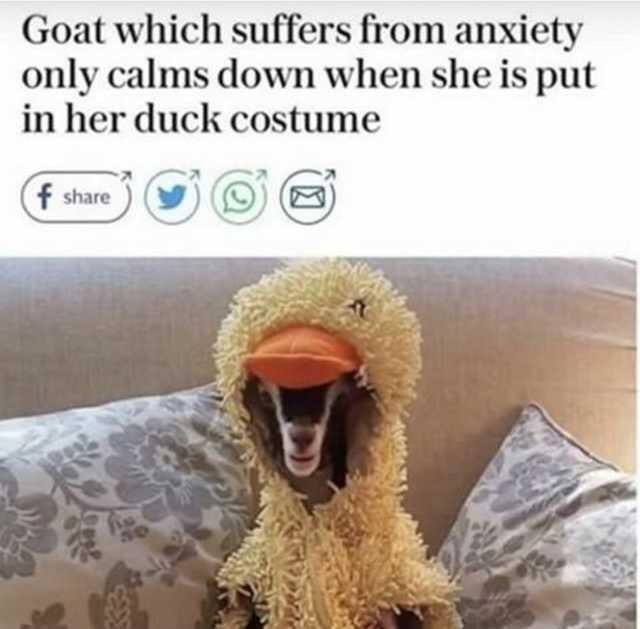 Photograph - Goat which suffers from anxiety only calms down when she is put in her duck costume f share