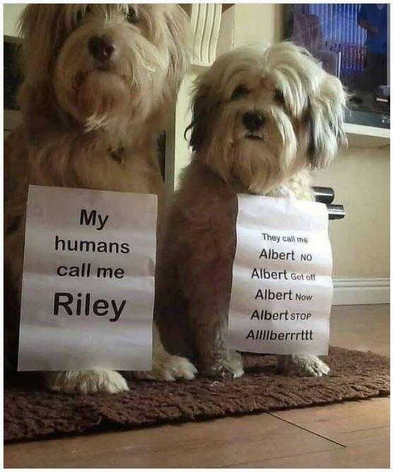 Dog - My They call me humans Albert NO Albert Get off call me Albert Now Riley Albert STOP AllIlberrrttt