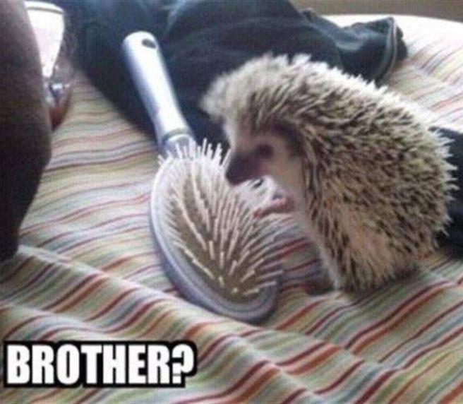 Hedgehog - BROTHER?