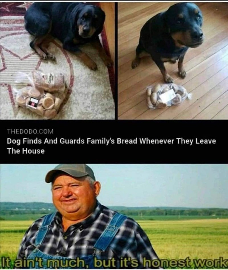 Dog - THEDODO.COM Dog Finds And Guards Family's Bread Whenever They Leave The House It ainit müch, but it's honest work