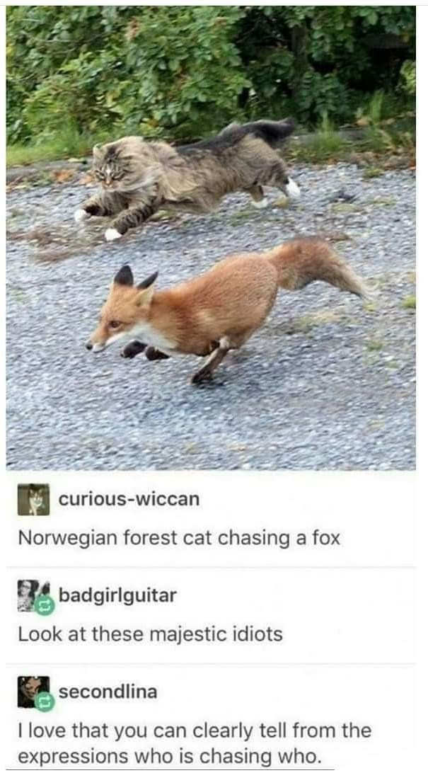 Vertebrate - curious-wiccan Norwegian forest cat chasing a fox badgirlguitar Look at these majestic idiots secondlina I love that you can clearly tell from the expressions who is chasing who.