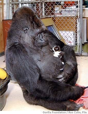 Primate - Gorilla Foundation / Ron Cohn, File