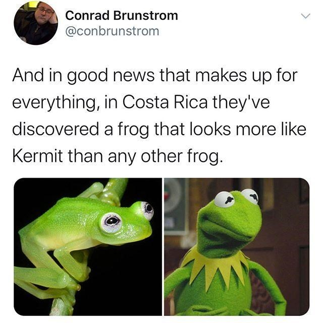 Vertebrate - Conrad Brunstrom @conbrunstrom And in good news that makes up for everything, in Costa Rica they've discovered a frog that looks more like Kermit than any other frog.