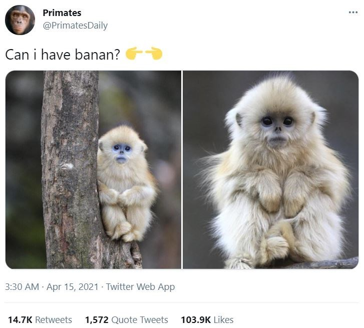 Photograph - Primates ... @PrimatesDaily Can i have banan? 3:30 AM Apr 15, 2021 - Twitter Web App 14.7K Retweets 1,572 Quote Tweets 103.9K Likes