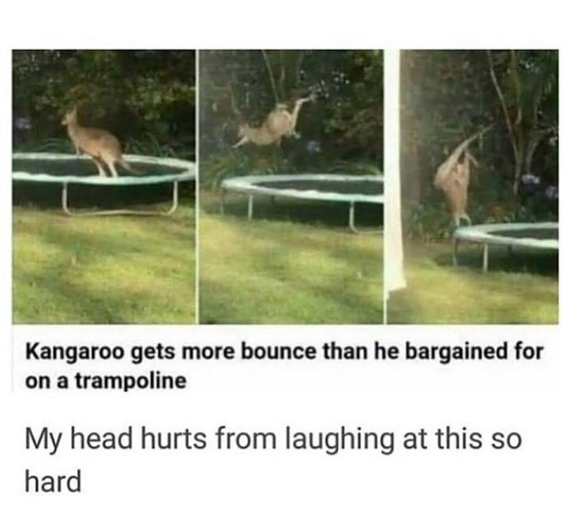 Vertebrate - Kangaroo gets more bounce than he bargained for on a trampoline My head hurts from laughing at this so hard