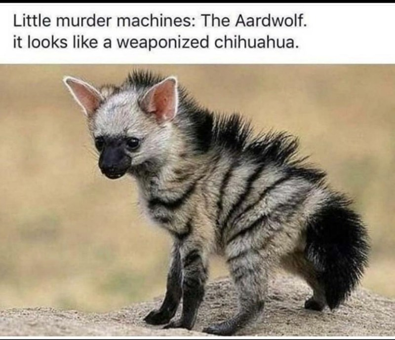 Cat - Little murder machines: The Aardwolf. it looks like a weaponized chihuahua.