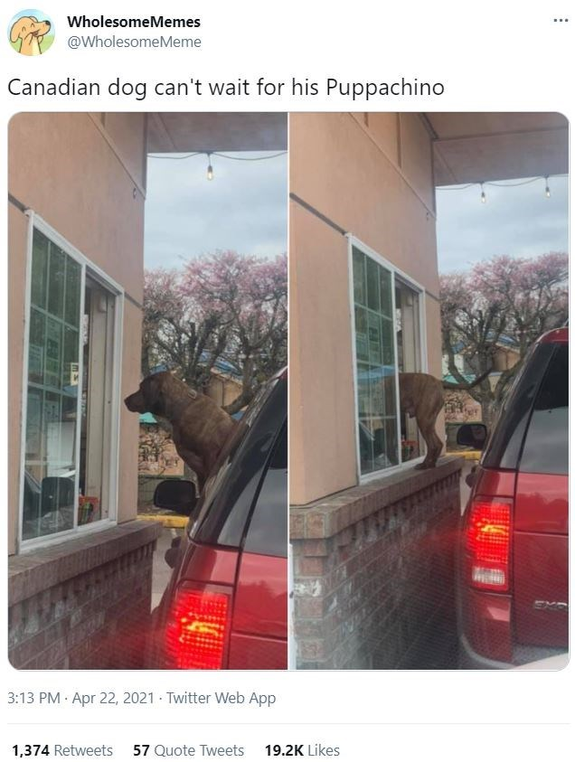 Car - WholesomeMemes @WholesomeMeme Canadian dog can't wait for his Puppachino 3:13 PM Apr 22, 2021 - Twitter Web App 1,374 Retweets 57 Quote Tweets 19.2K Likes