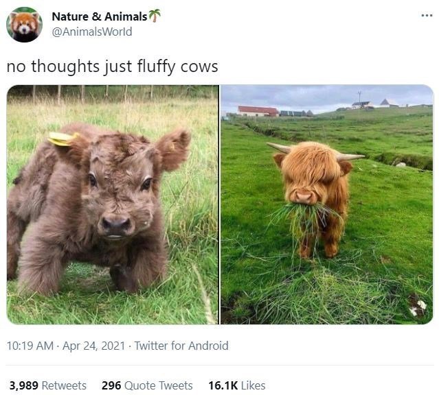 Ecoregion - Nature & Animals @AnimalsWorld no thoughts just fluffy cows 10:19 AM - Apr 24, 2021 · Twitter for Android 3,989 Retweets 296 Quote Tweets 16.1K Likes