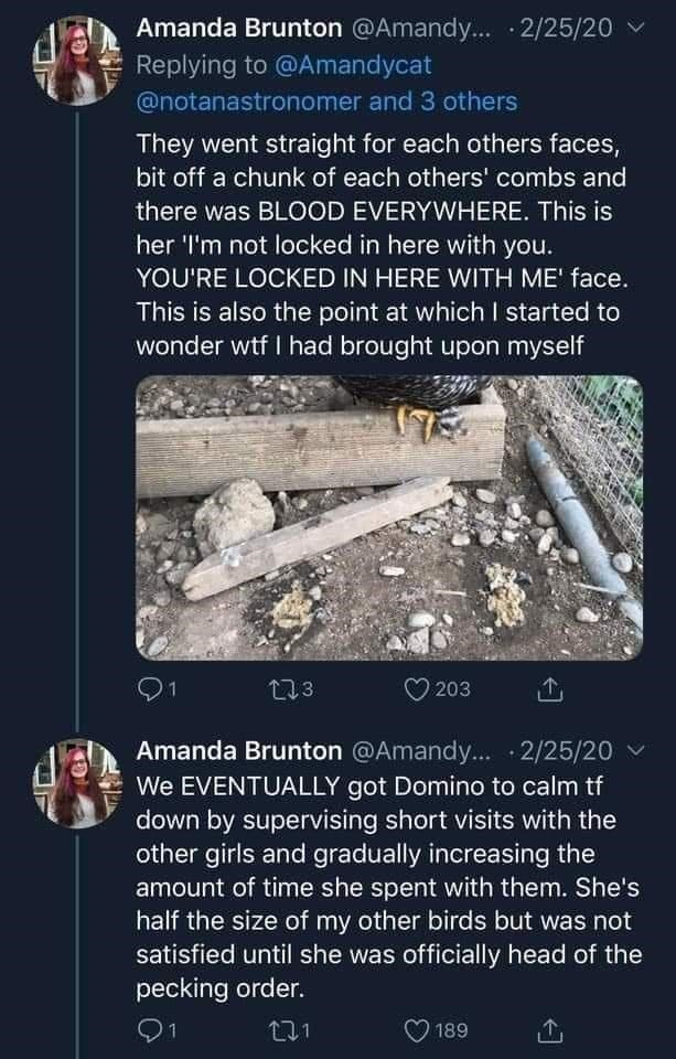 World - Amanda Brunton @Amandy... · 2/25/20 Replying to @Amandycat @notanastronomer and 3 others They went straight for each others faces, bit off a chunk of each others' combs and there was BLOOD EVERYWHERE. This is her 'l'm not locked in here with you. YOU'RE LOCKED IN HERE WITH ME' face. This is also the point at which I started to wonder wtf I had brought upon myself 1 L73 203 Amanda Brunton @Amandy... 2/25/20 We EVENTUALLY got Domino to calm tf down by supervising short visits with the othe