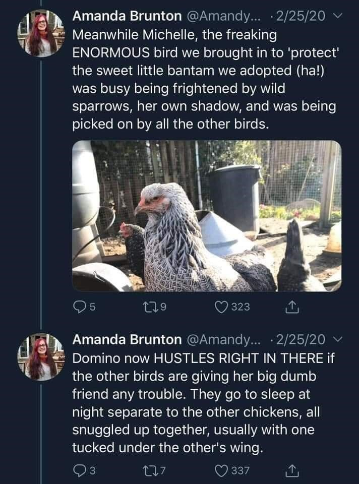 World - Amanda Brunton @Amandy... · 2/25/20 Meanwhile Michelle, the freaking ENORMOUS bird we brought in to 'protect' the sweet little bantam we adopted (ha!) was busy being frightened by wild sparrows, her own shadow, and was being picked on by all the other birds. 323 Amanda Brunton @Amandy... · 2/25/20 Domino now HUSTLES RIGHT IN THERE if the other birds are giving her big dumb friend any trouble. They go to sleep at night separate to the other chickens, all snuggled up together, usually with