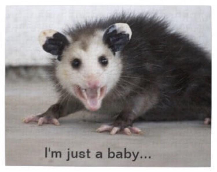 Virginia opossum - I'm just a baby...