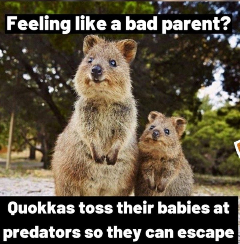 Natural environment - Feeling like a bad parent? Quokkas toss their babies at predators so they can escape