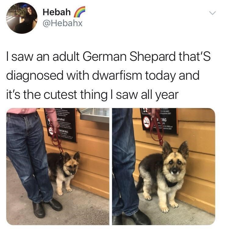 """Vertebrate - Hebah @Hebahx I saw an adult German Shepard that'S diagnosed with dwarfism today and it's the cutest thing I saw all year """"ING aicohol SMOKING"""