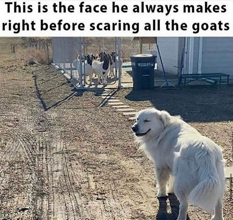 Dog - This is the face he always makes right before scaring all the goats