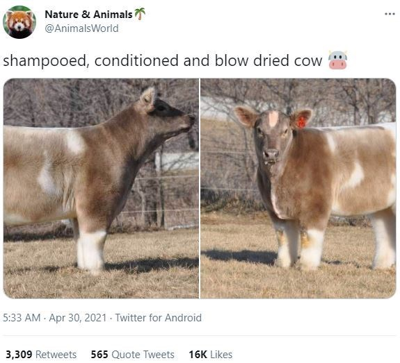 Organism - Nature & Animals ... @AnimalsWorld shampooed, conditioned and blow dried cow 5:33 AM · Apr 30, 2021 - Twitter for Android 3,309 Retweets 565 Quote Tweets 16K Likes