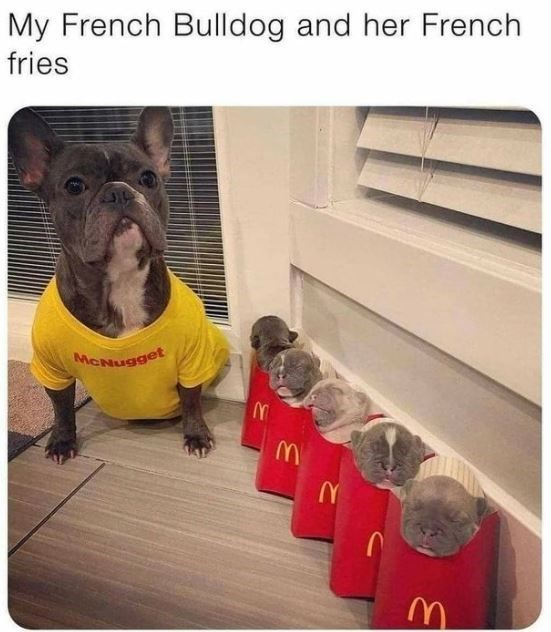 Dog - My French Bulldog and her French fries MCNugget