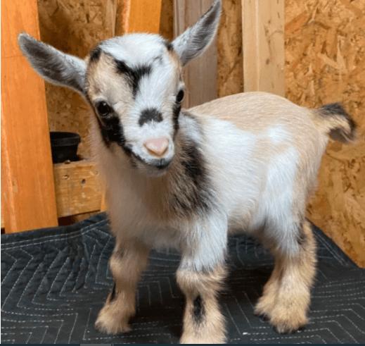 Goat - 24lRR