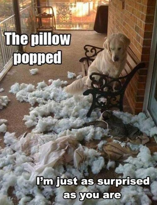 Dog - The pillow popped P'm just as surprised as you are