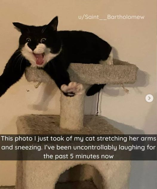 Cat - u/Saint__Bartholomew This photo I just took of my cat stretching her arms and sneezing. I've been uncontrollably laughing for the past 5 minutes now