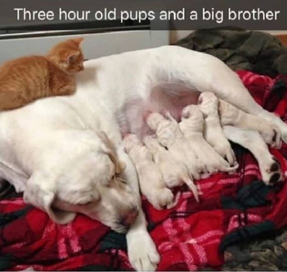 Cat - Three hour old pups and a big brother rec