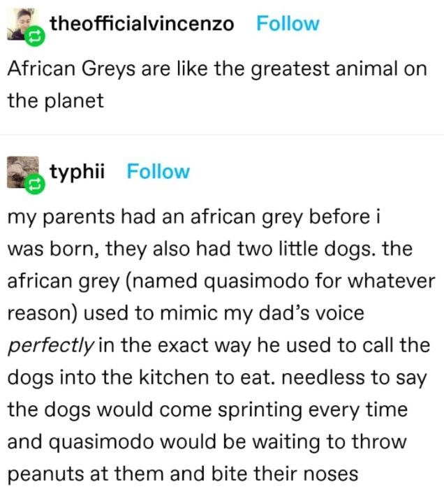 Font - theofficialvincenzo Follow African Greys are like the greatest animal on the planet typhii Follow my parents had an african grey before i was born, they also had two little dogs. the african grey (named quasimodo for whatever reason) used to mimic my dad's voice perfectly in the exact way he used to call the dogs into the kitchen to eat. needless to say the dogs would come sprinting every time and quasimodo would be waiting to throw peanuts at them and bite their noses
