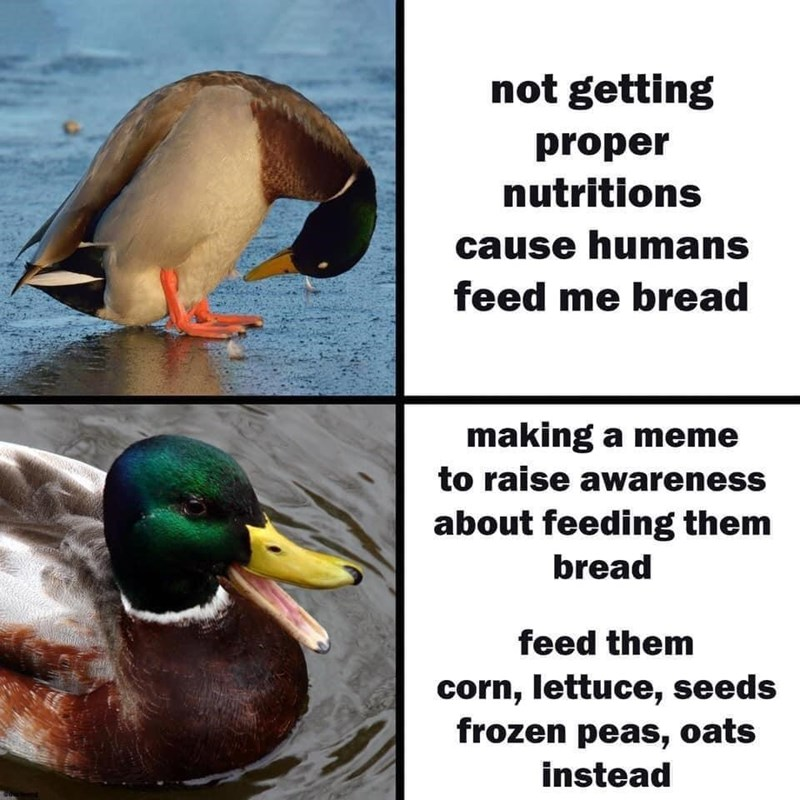 Bird - not getting proper nutritions cause humans feed me bread making a meme to raise awareness about feeding them bread feed them corn, lettuce, seeds frozen peas, oats instead