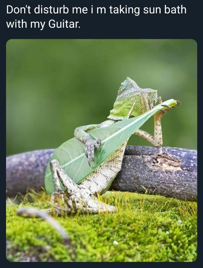 Iguania - Don't disturb me i m taking sun bath with my Guitar.