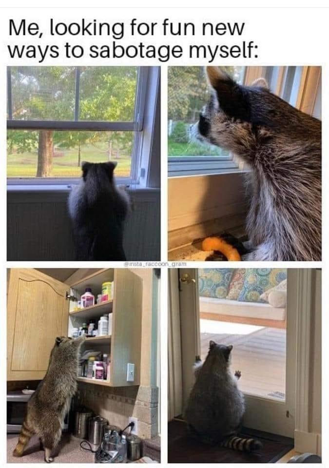 Cat - Me, looking for fun new ways to sabotage myself: sta raccoon_gram