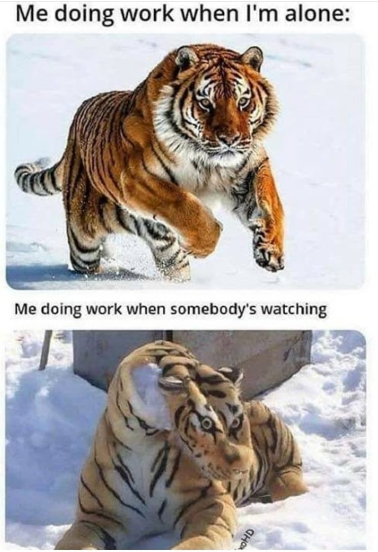 Bengal tiger - Me doing work when I'm alone: Me doing work when somebody's watching woHD